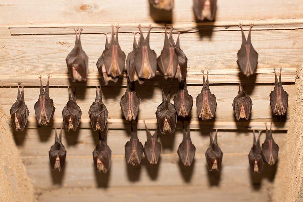 Lesser horseshoe bats at Hestercombe