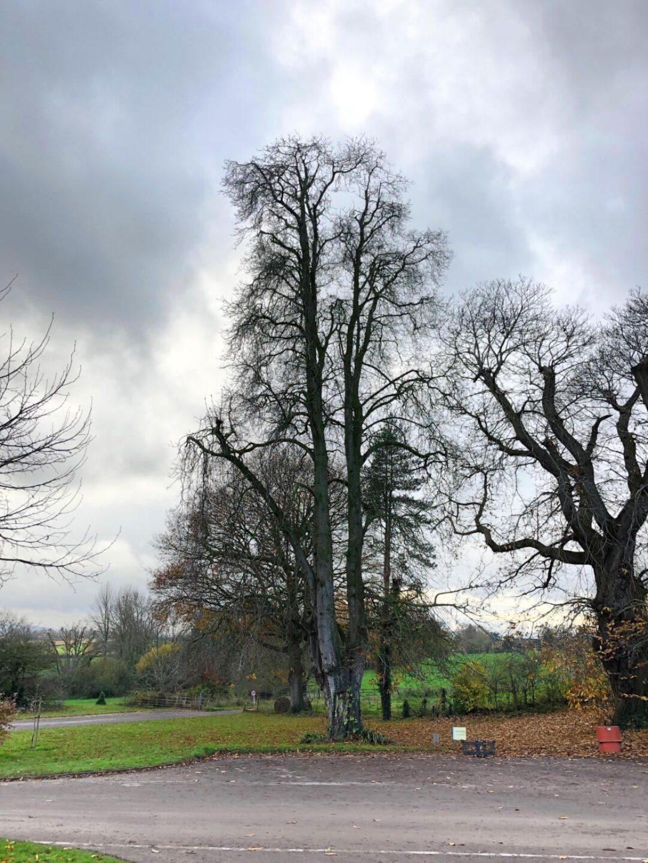 Horse chestnut tree in car park Hestercombe National Tree Week