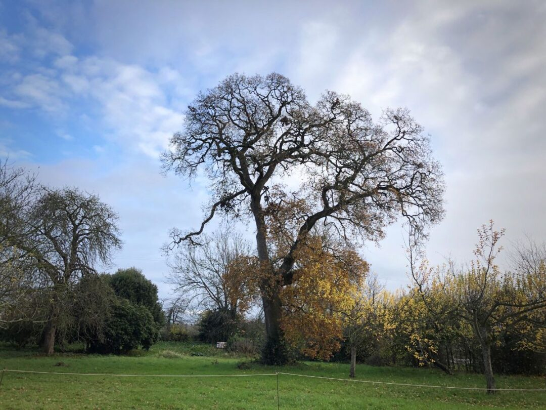 Oak tree East Orchard Hestercombe National Tree Week