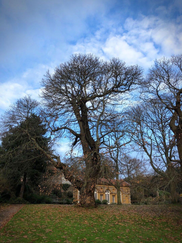 Sweet chestnut Orangery Lawn Hestercombe National Tree Week
