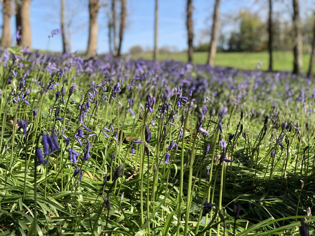 Bluebells Gotton Copse Hestercombe