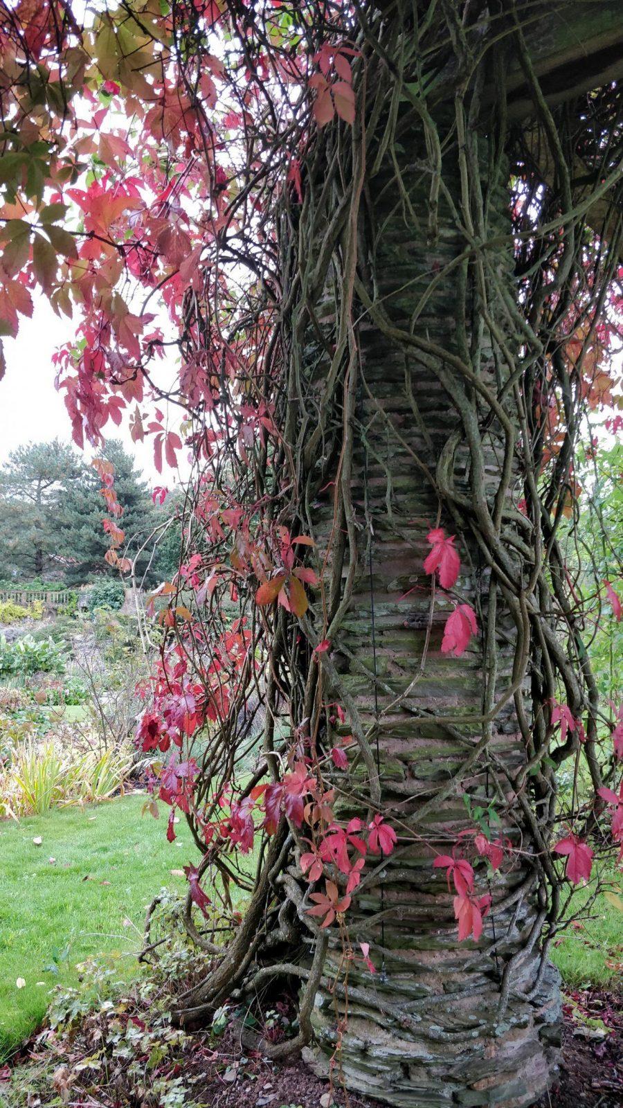vines on the pergola