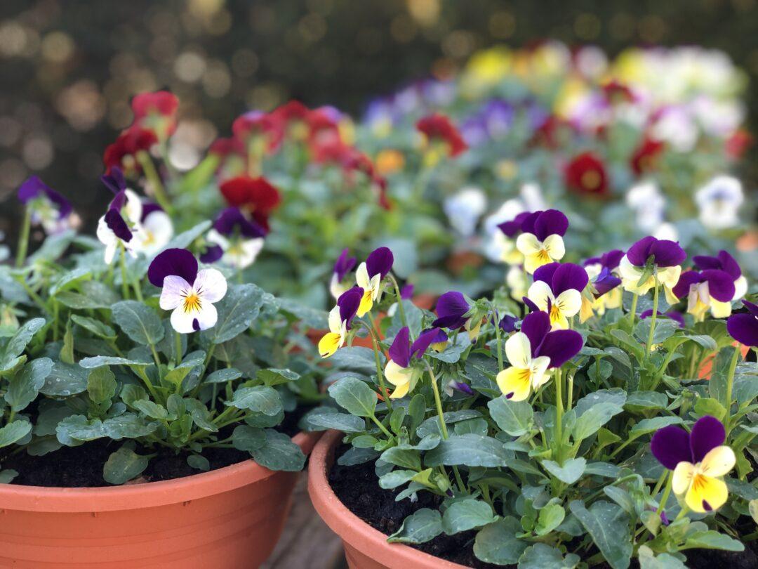 Pansies plant sale IMG 5256