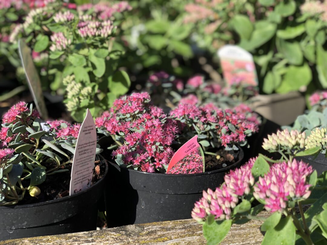 Plant sale Hestercombe IMG 5244