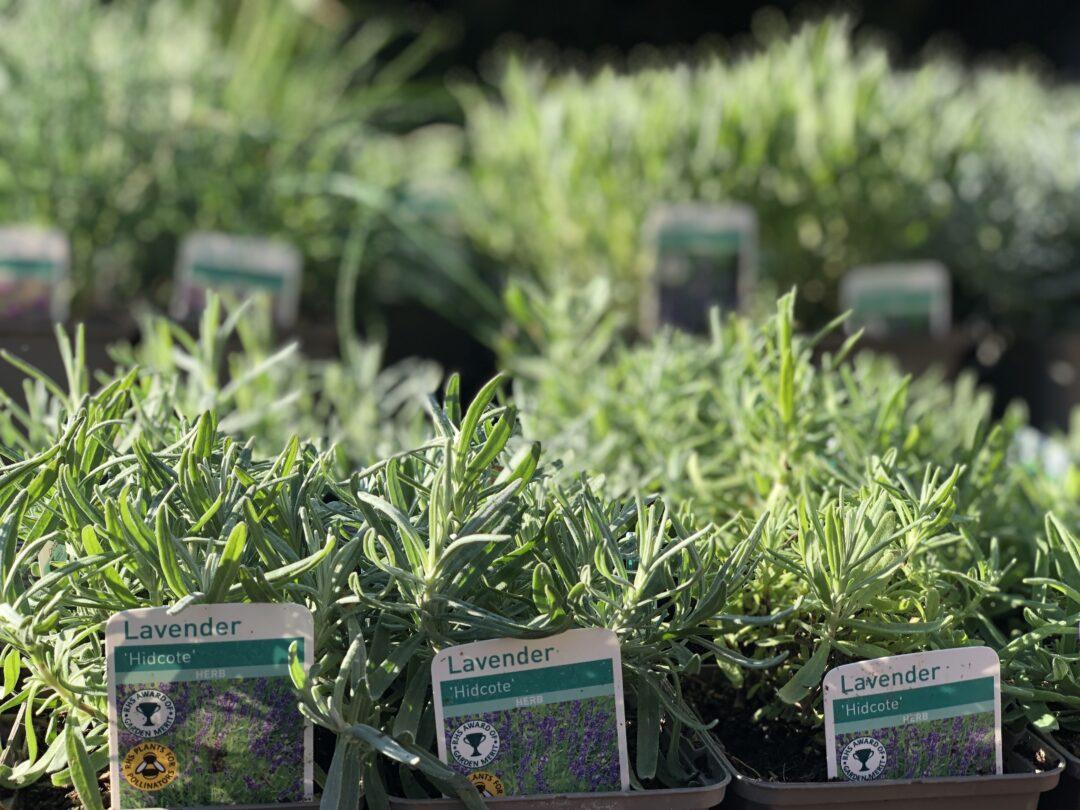 Plant sale Hestercombe IMG 5253