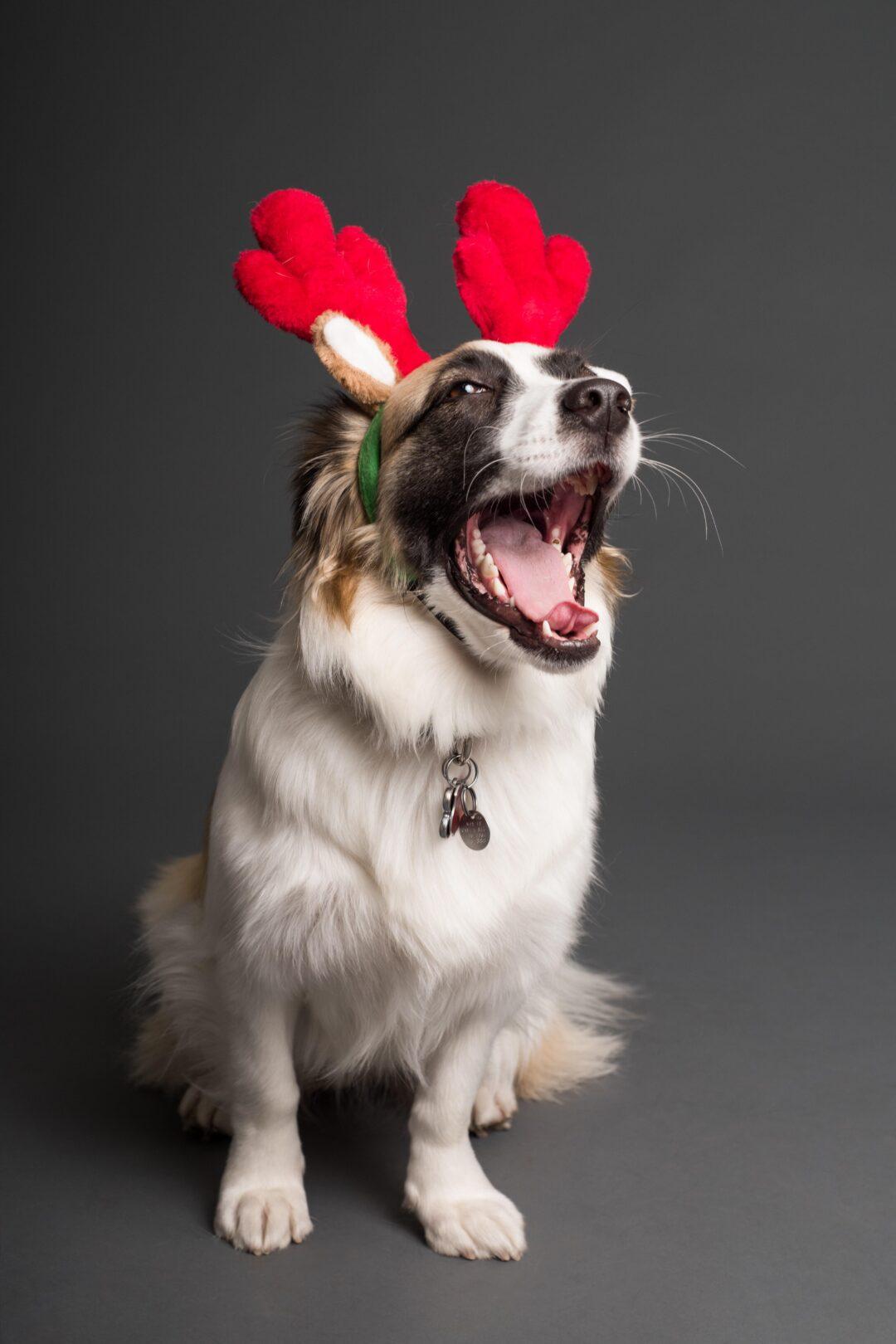 Santa paws hestercombe pexels goochie poochie grooming 3361714
