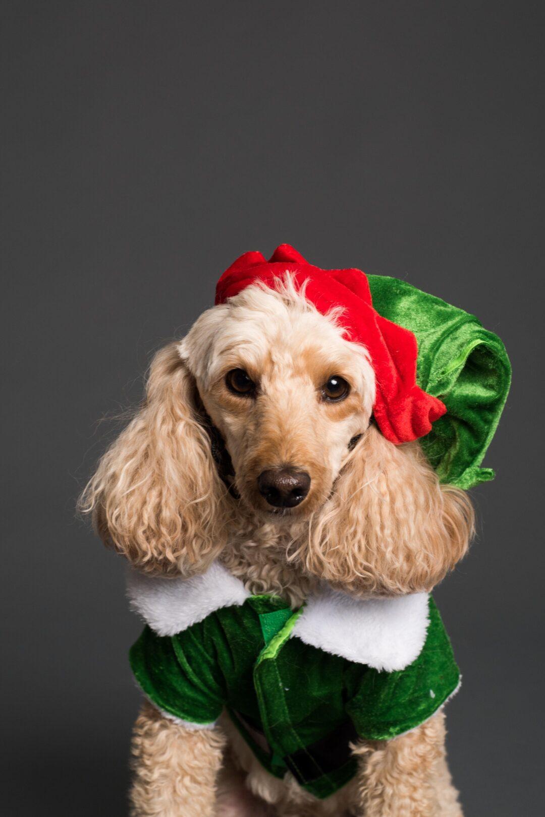 Santa paws pexels goochie poochie grooming 3361741